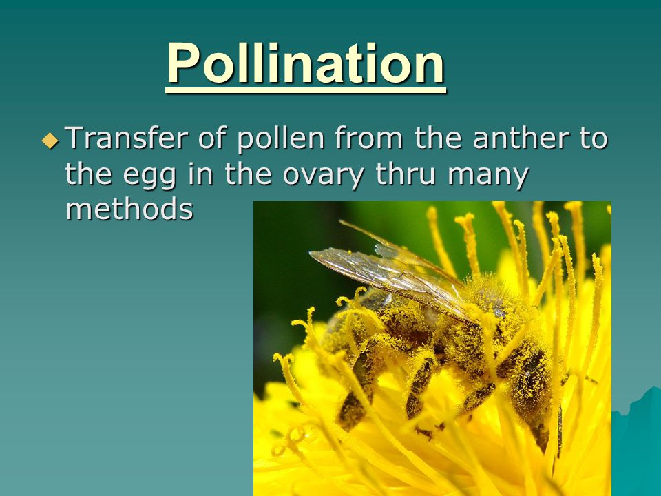 Pollination Transfer of pollen from the anther to the egg in the ovary thru many methods