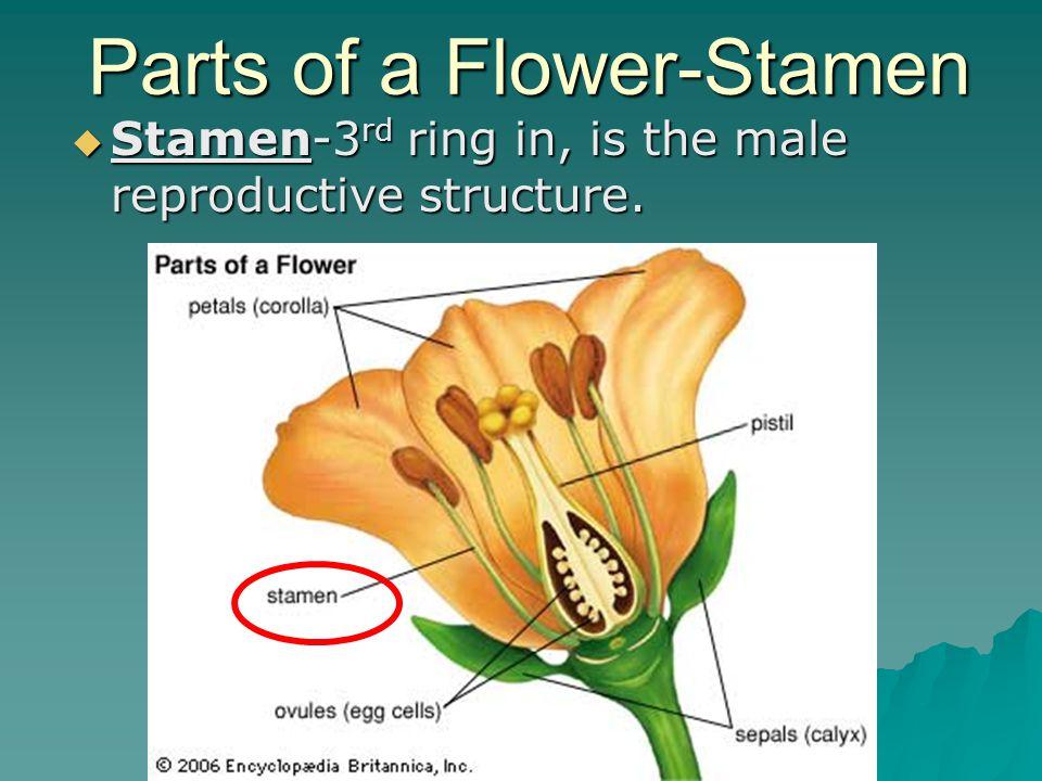 Parts of a Flower-Stamen