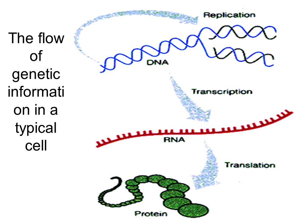 The flow of genetic information in a typical cell