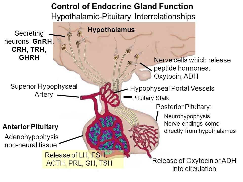 Control of Endocrine Gland Function