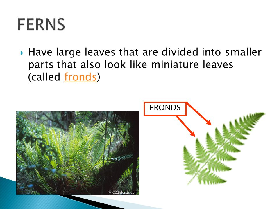 FERNS Have large leaves that are divided into smaller parts that also look like miniature leaves (called fronds)