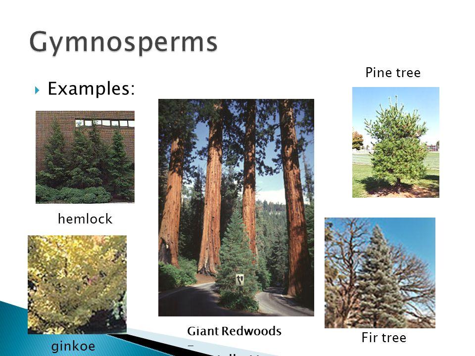 Gymnosperms Examples: Pine tree hemlock Fir tree ginkoe
