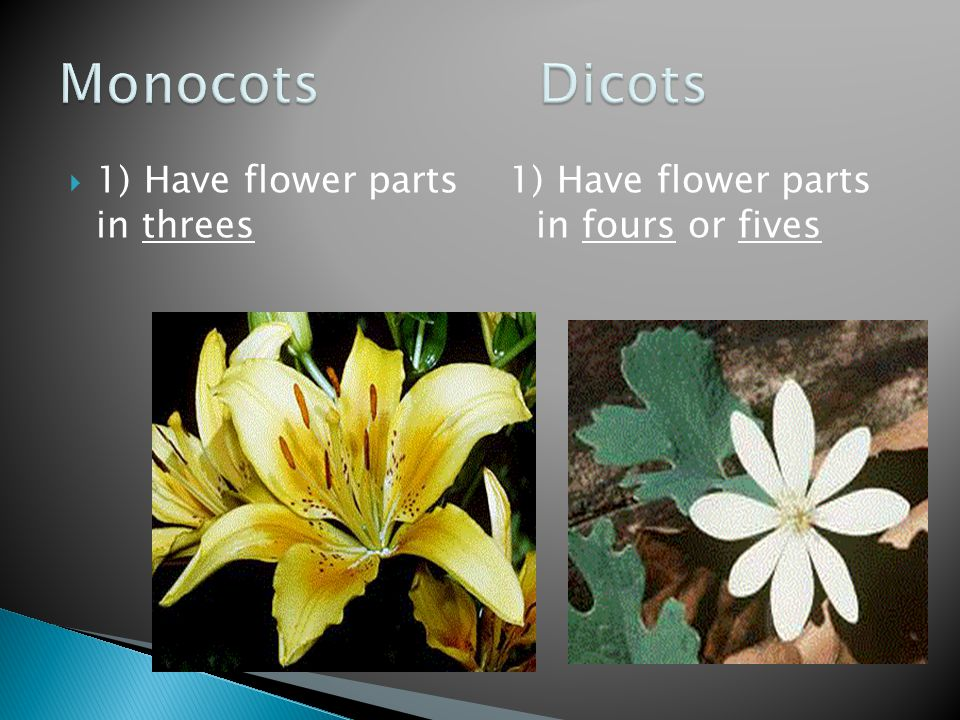 Monocots Dicots 1) Have flower parts in threes