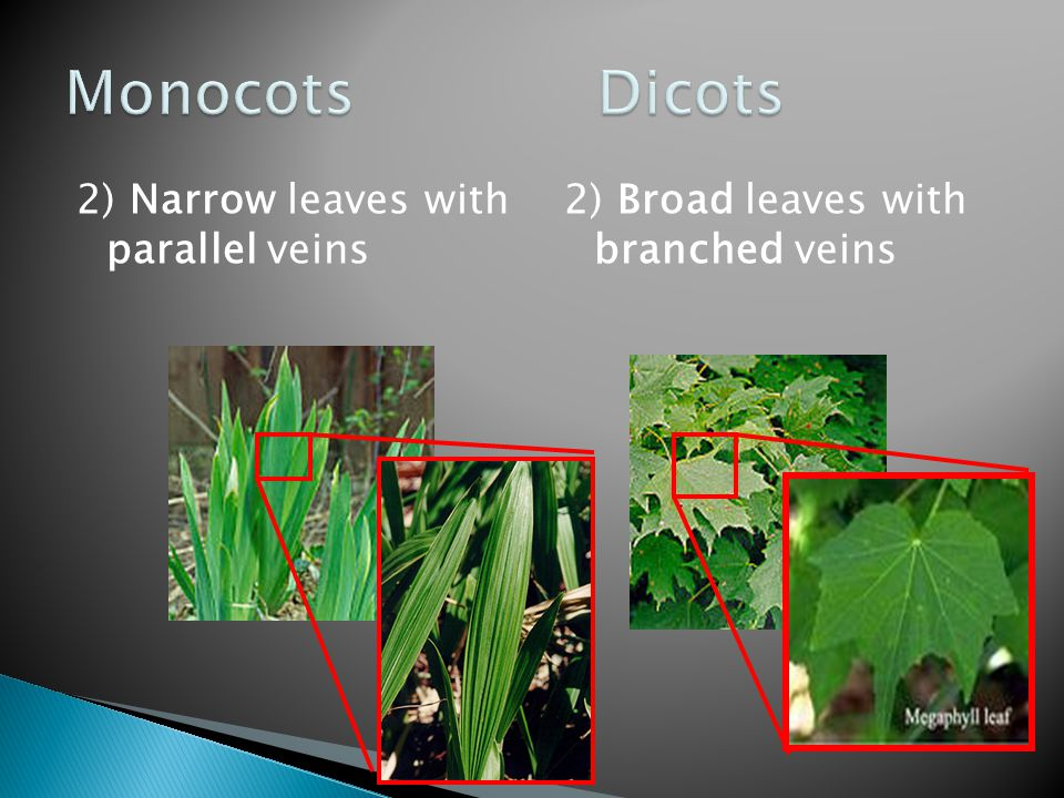 Monocots Dicots 2) Narrow leaves with parallel veins