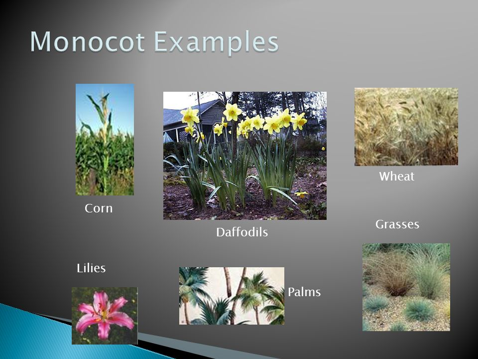 Monocot Examples Corn Wheat Daffodils Grasses Lilies Palms