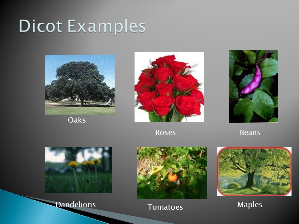 Dicot Examples Beans Roses Oaks Dandelions Tomatoes Maples