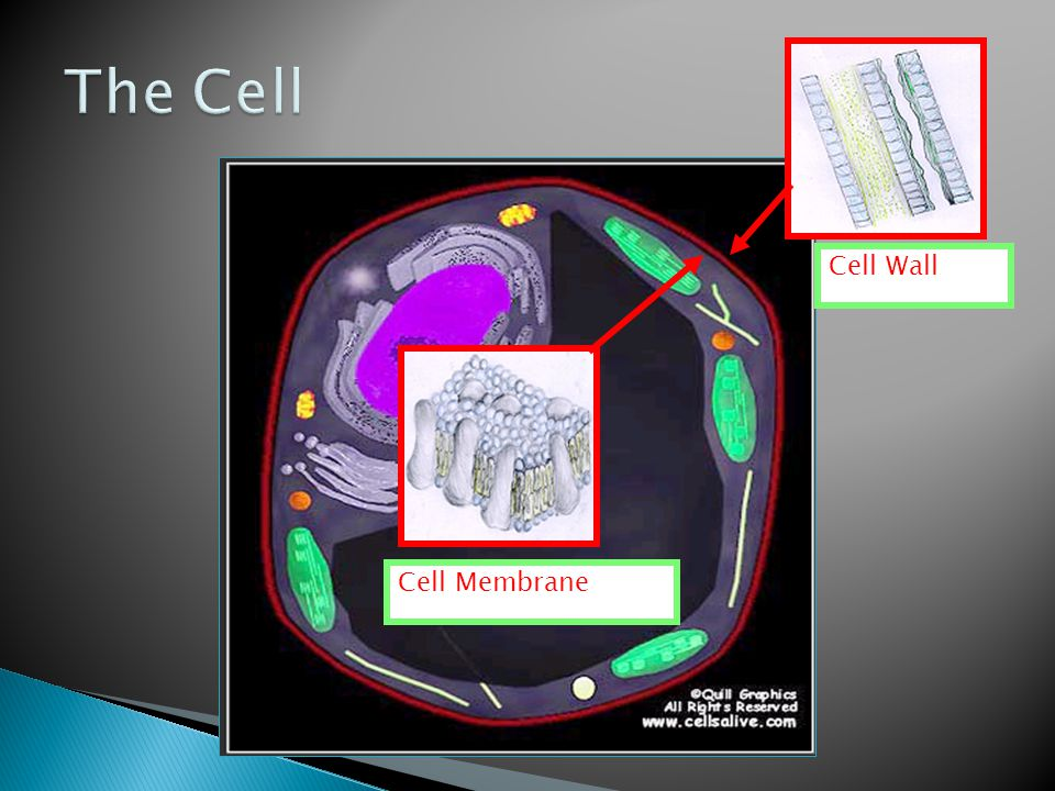 The Cell Cell Wall Cell Membrane