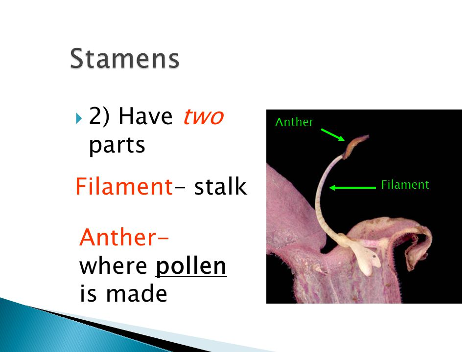 Stamens 2) Have two parts Filament- stalk Anther- where pollen is made