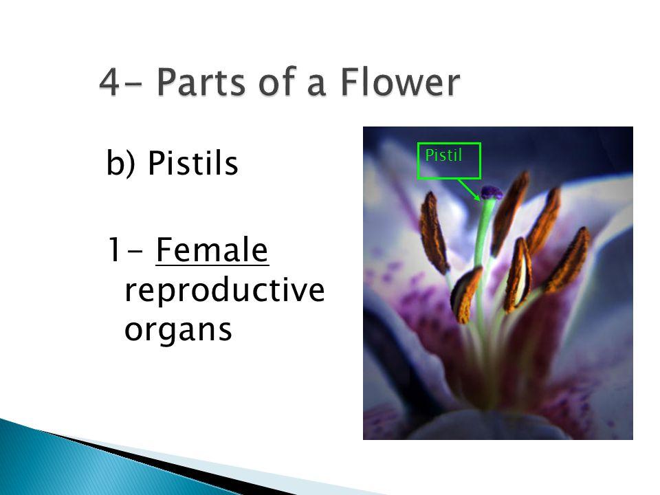 4- Parts of a Flower b) Pistils 1- Female reproductive organs Pistil