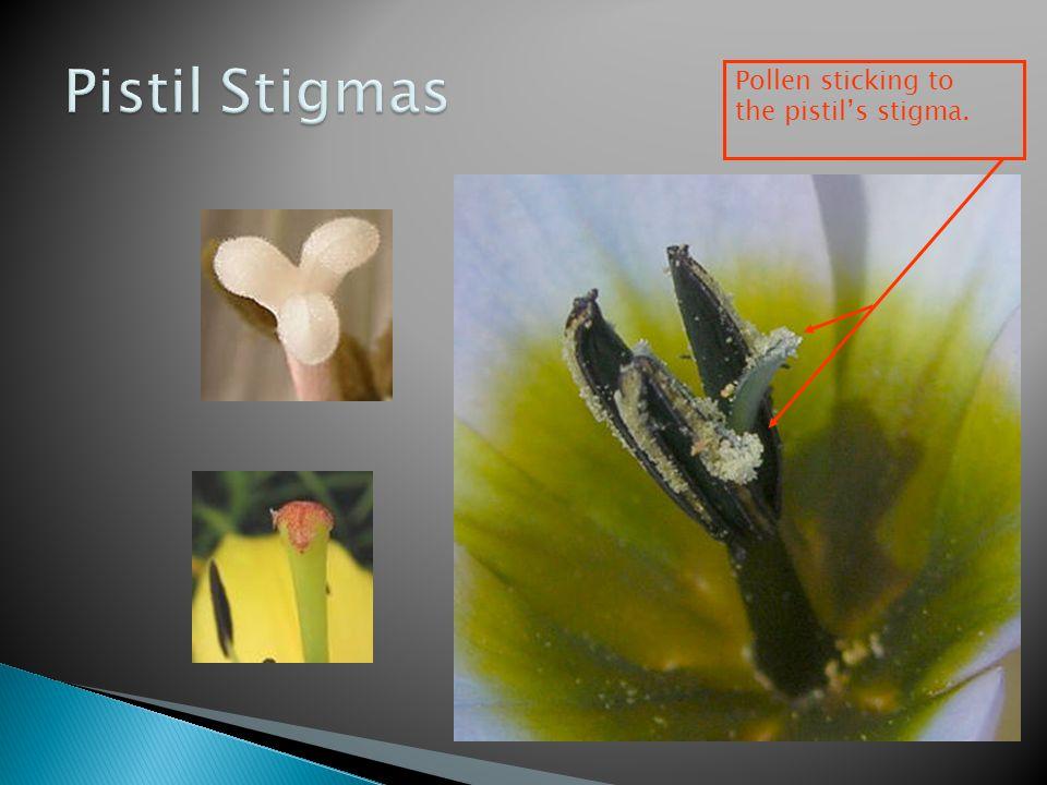Pistil Stigmas Pollen sticking to the pistil's stigma.
