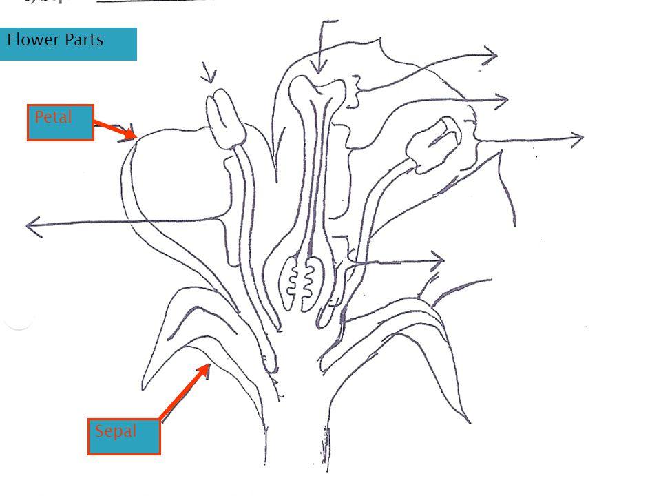 Flower Parts Petal Sepal