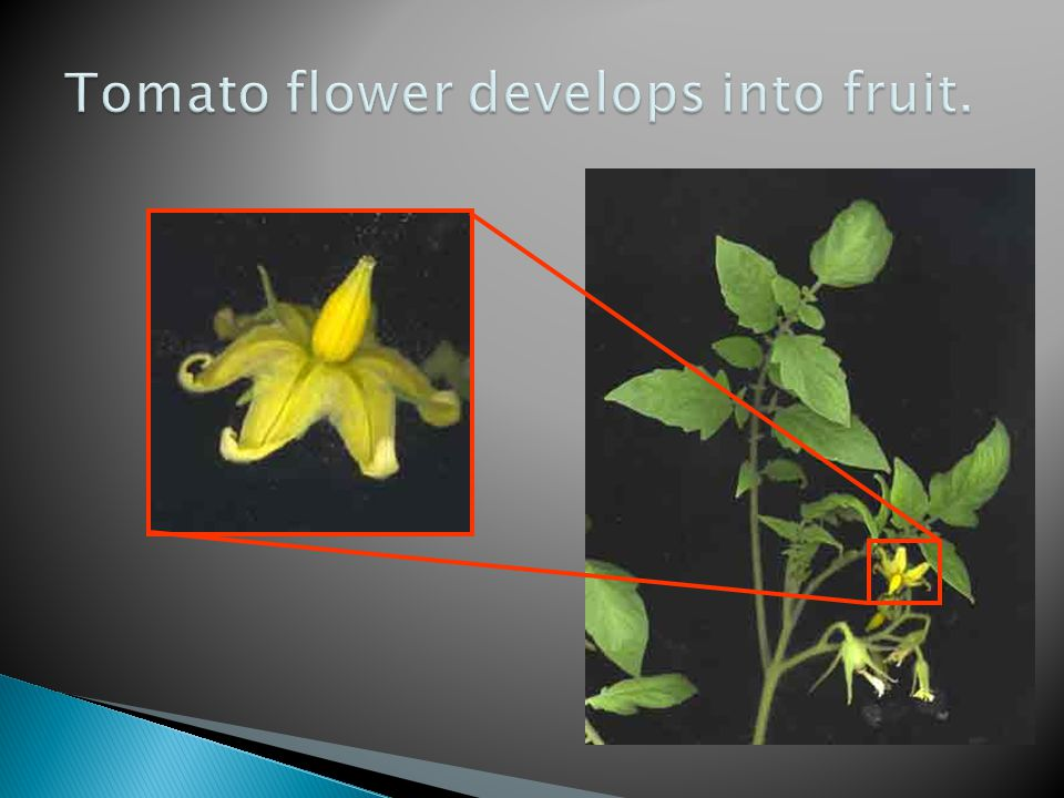 Tomato flower develops into fruit.