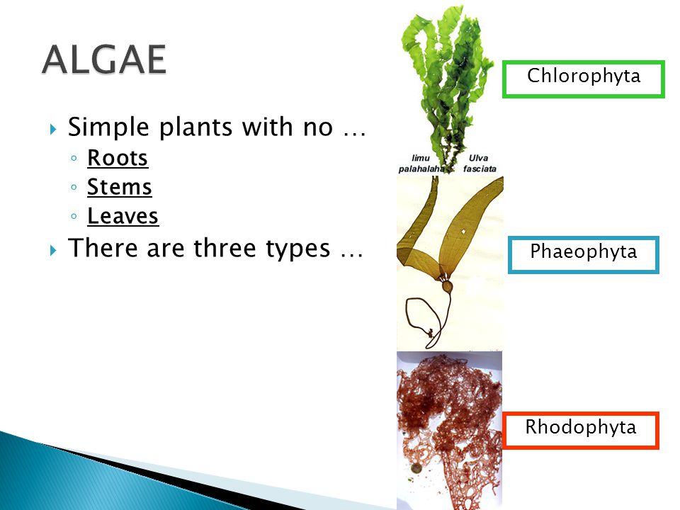 ALGAE Simple plants with no … There are three types … Roots Stems