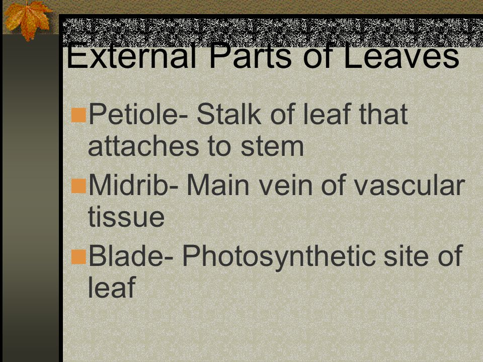 External Parts of Leaves