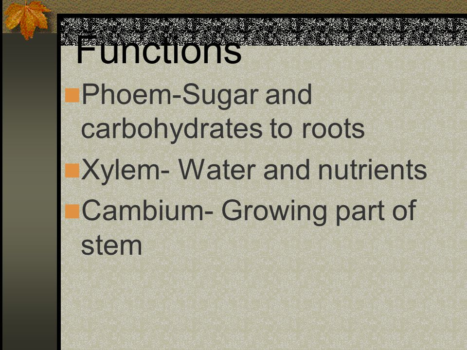 Functions Phoem-Sugar and carbohydrates to roots