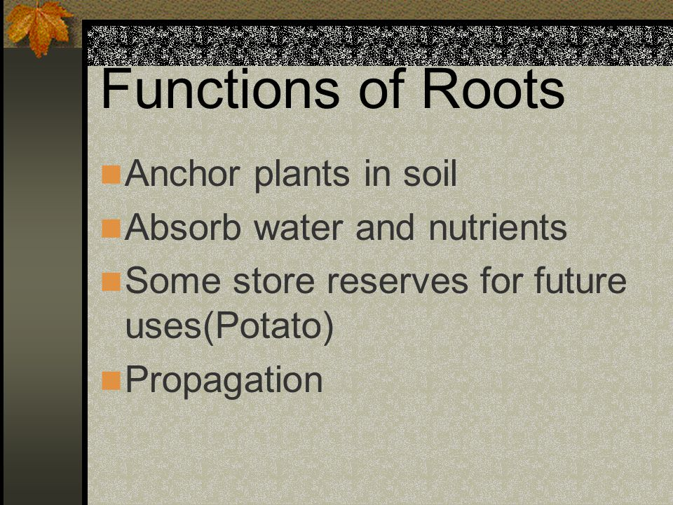 Functions of Roots Anchor plants in soil Absorb water and nutrients