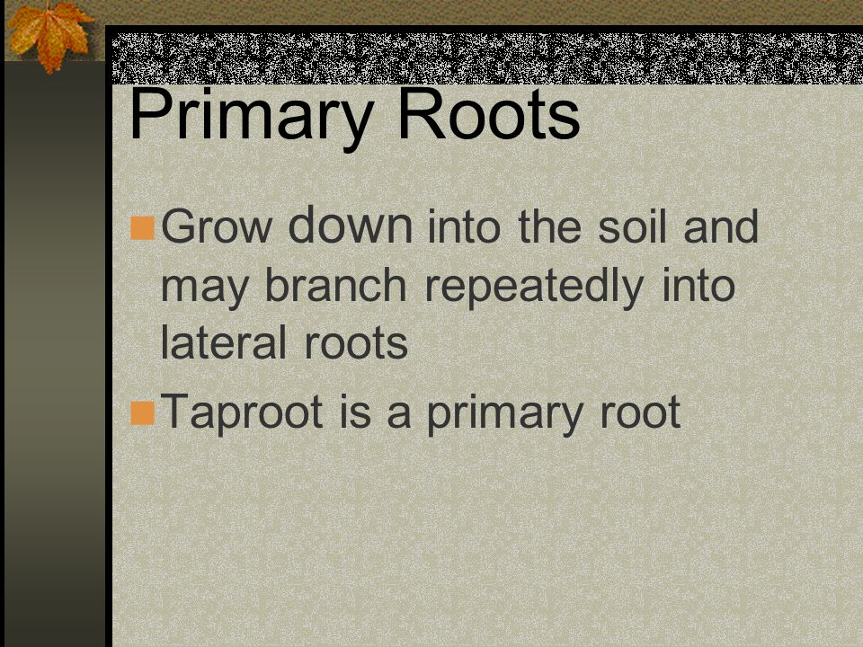 Primary Roots Grow down into the soil and may branch repeatedly into lateral roots.