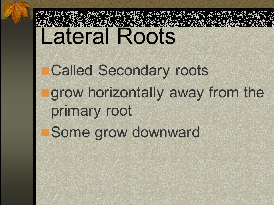 Lateral Roots Called Secondary roots