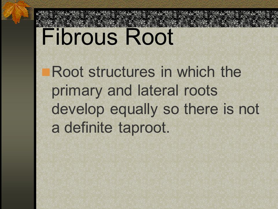 Fibrous Root Root structures in which the primary and lateral roots develop equally so there is not a definite taproot.