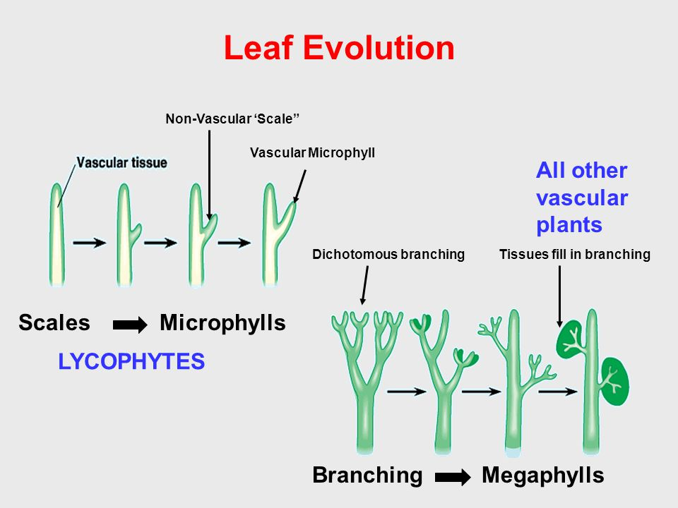 Leaf Evolution All other vascular plants Scales Microphylls LYCOPHYTES