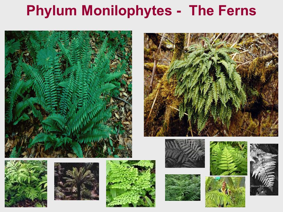 Phylum Monilophytes - The Ferns