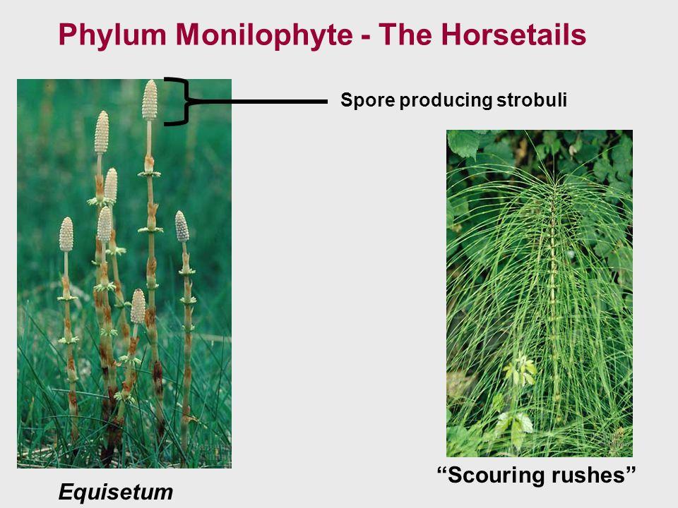 Phylum Monilophyte - The Horsetails