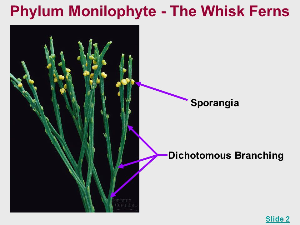 Phylum Monilophyte - The Whisk Ferns