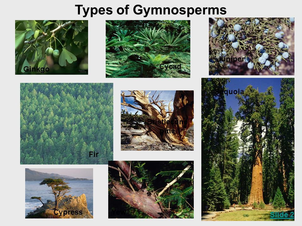 Types of Gymnosperms Juniper Cycad Ginkgo Sequoia Bristlecone pine Fir