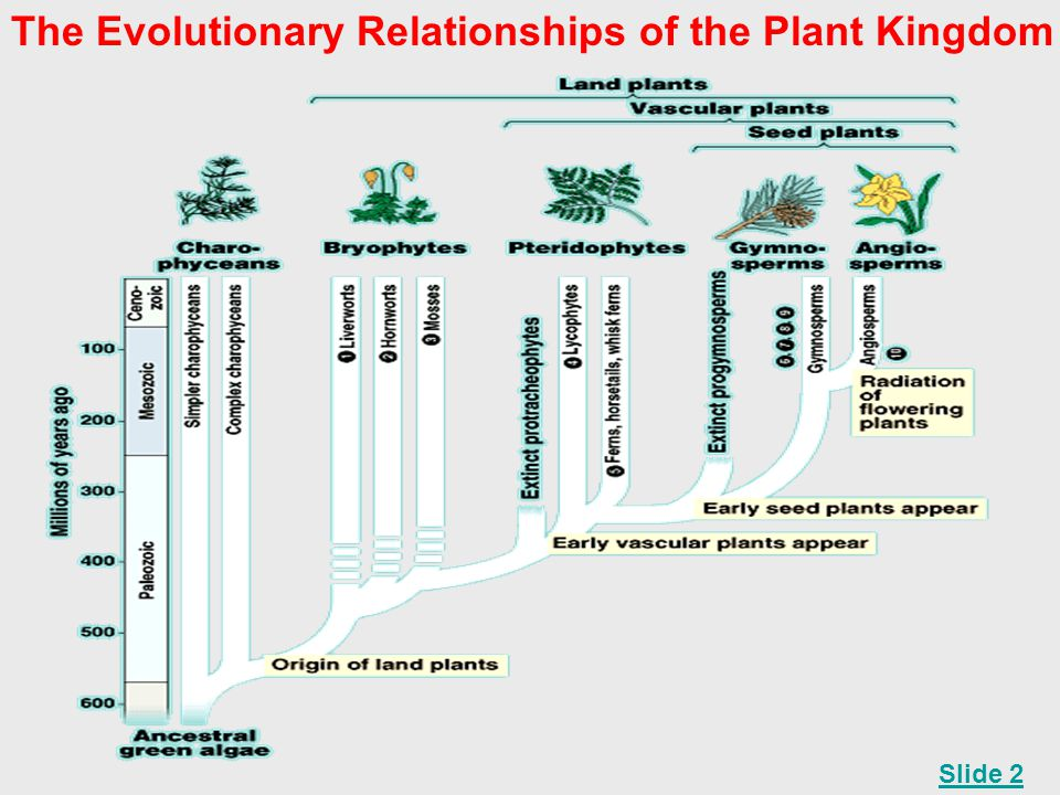 The Evolutionary Relationships of the Plant Kingdom