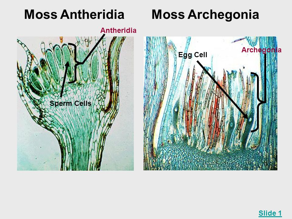 Moss Antheridia Moss Archegonia Antheridia Archegonia Egg Cell