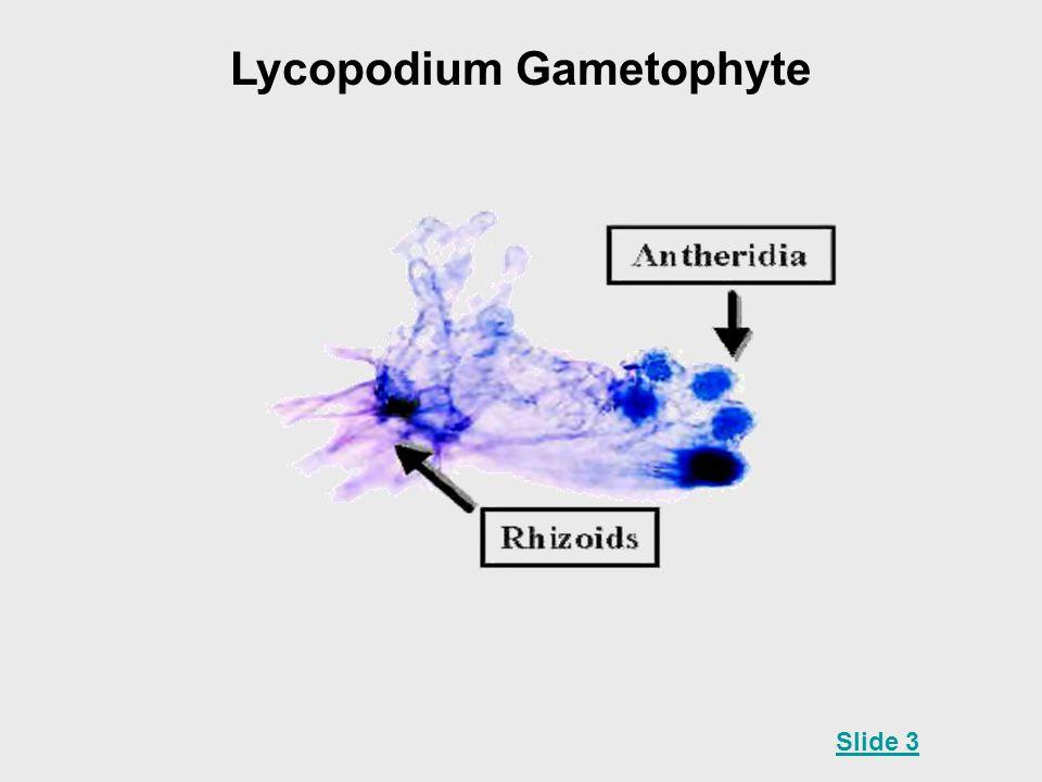 Lycopodium Gametophyte