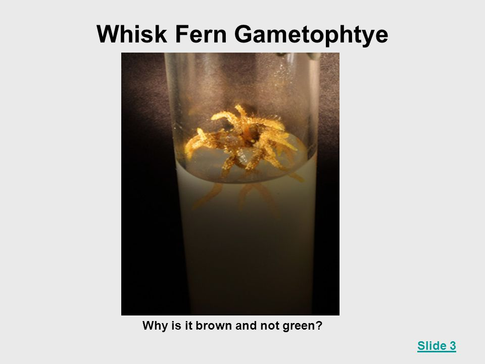 Whisk Fern Gametophtye Why is it brown and not green