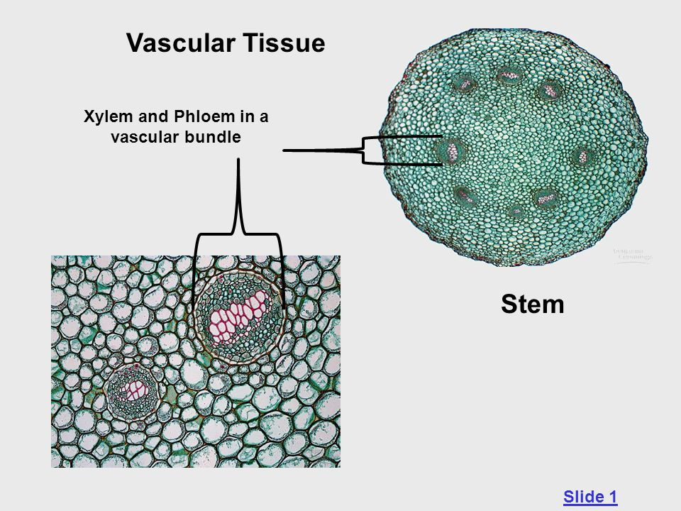 Xylem and Phloem in a vascular bundle