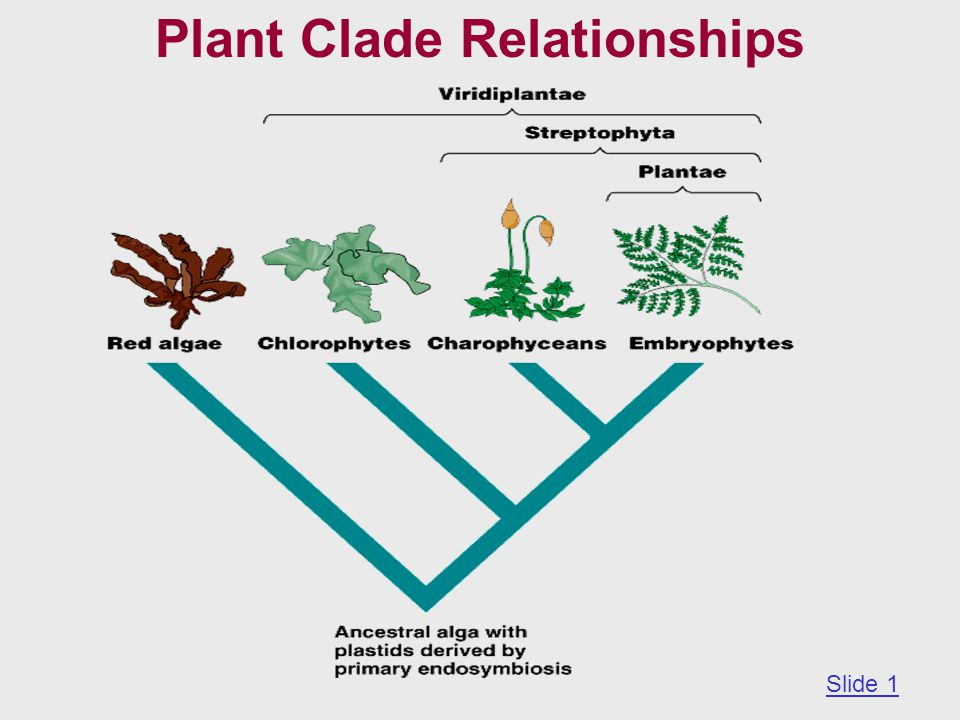 Plant Clade Relationships