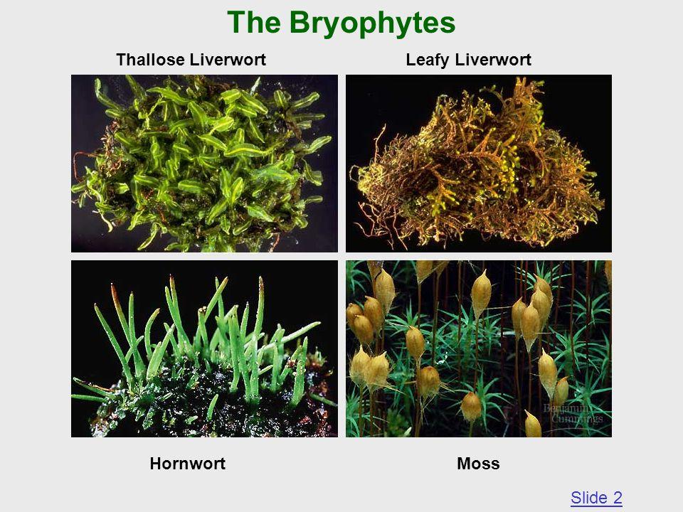 The Bryophytes Thallose Liverwort Leafy Liverwort Hornwort Moss