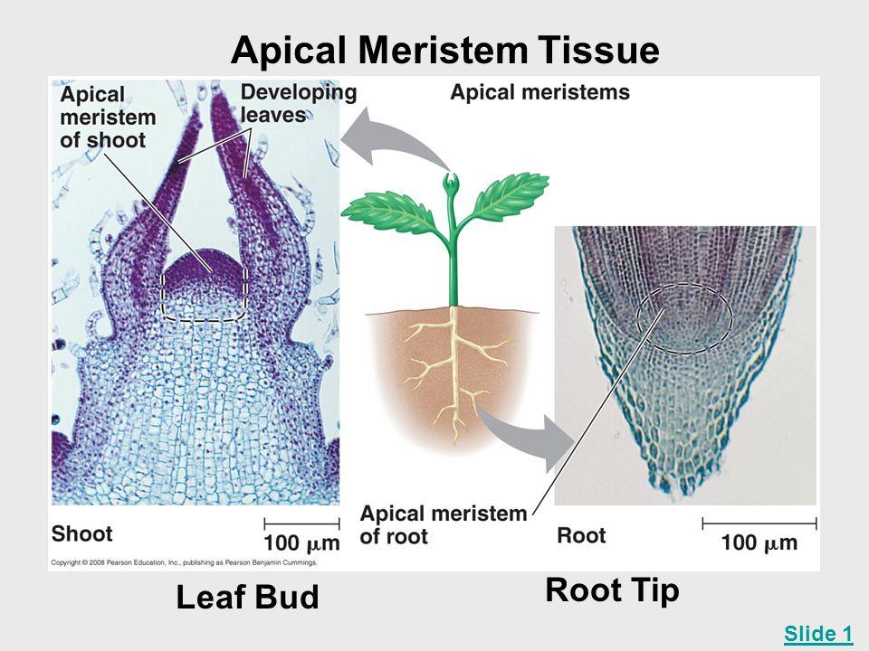 Apical Meristem Tissue