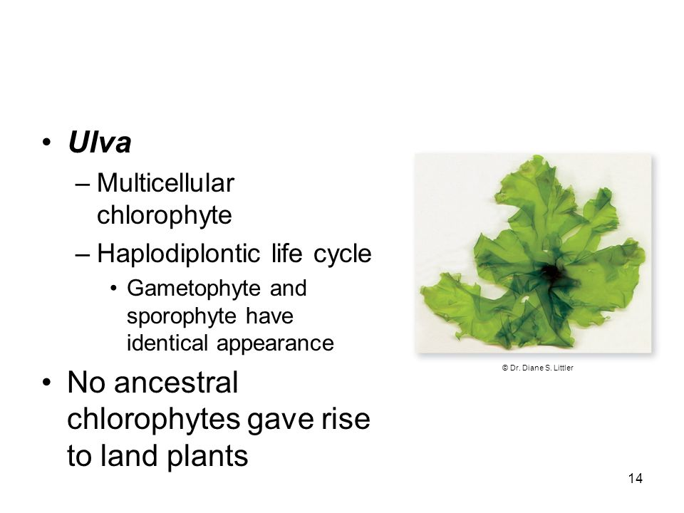 No ancestral chlorophytes gave rise to land plants