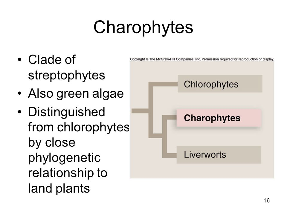 Charophytes Clade of streptophytes Also green algae