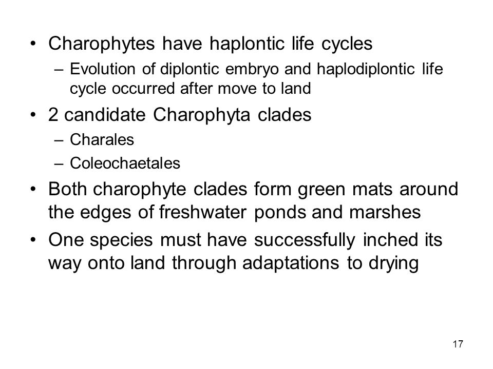 Charophytes have haplontic life cycles