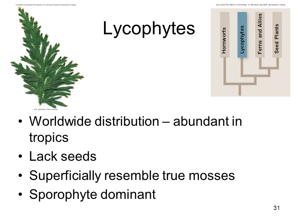 Lycophytes Worldwide distribution – abundant in tropics Lack seeds