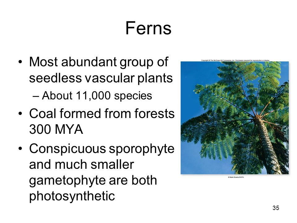 Ferns Most abundant group of seedless vascular plants