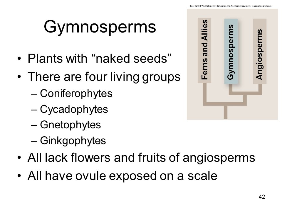 Gymnosperms Plants with naked seeds There are four living groups