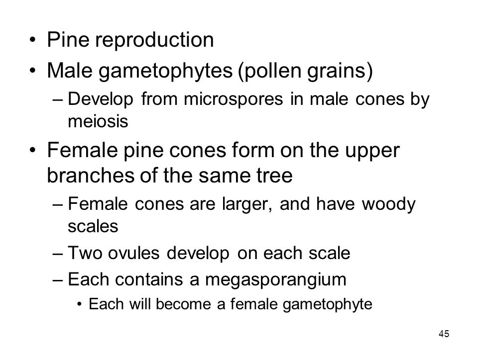 Male gametophytes (pollen grains)