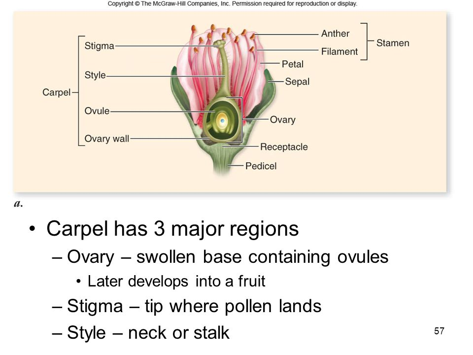 Carpel has 3 major regions