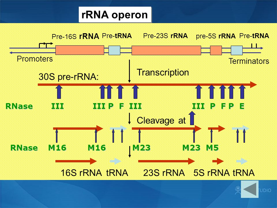 rRNA operon pre-5S rRNA 30S pre-rRNA: Transcription Cleavage at