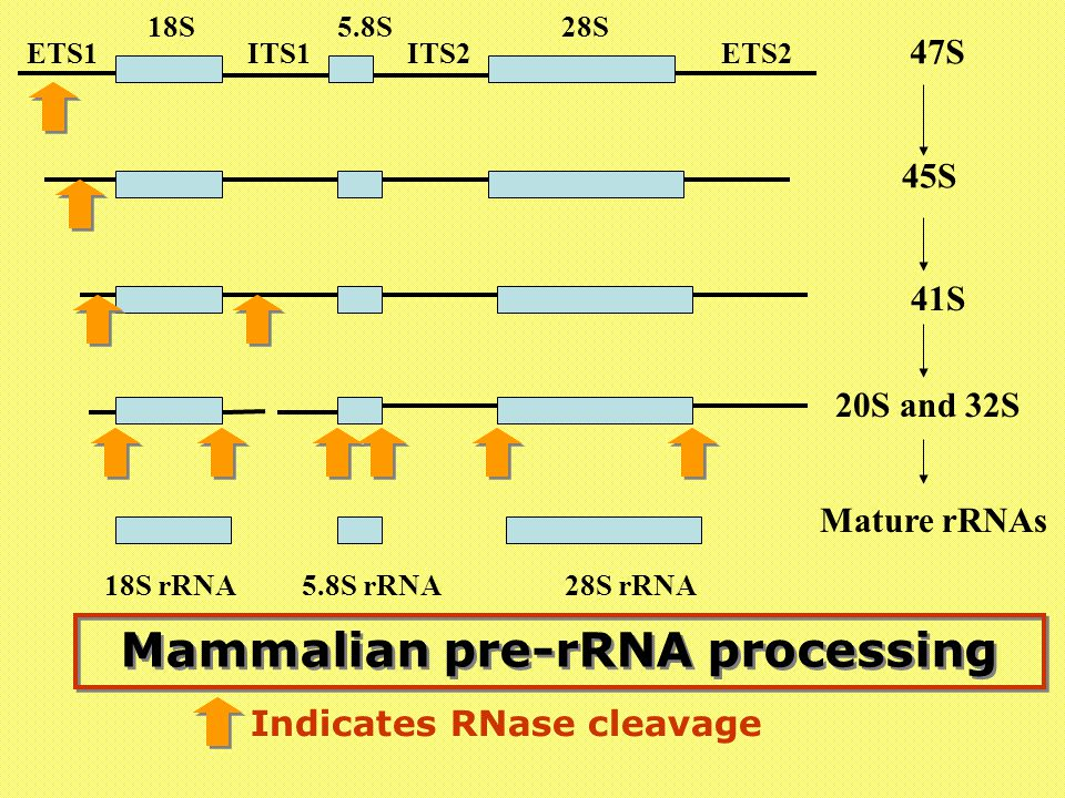Mammalian pre-rRNA processing Indicates RNase cleavage