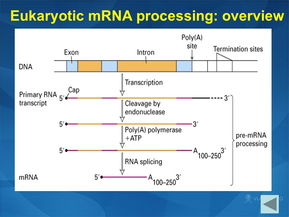 Eukaryotic mRNA processing: overview