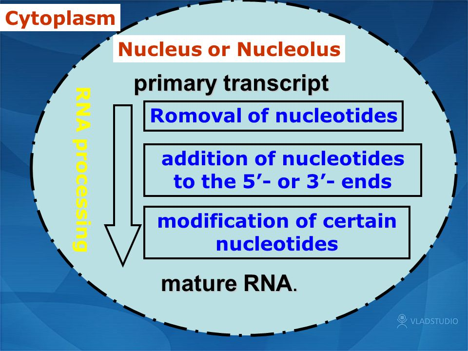 primary transcript mature RNA. Cytoplasm Nucleus or Nucleolus