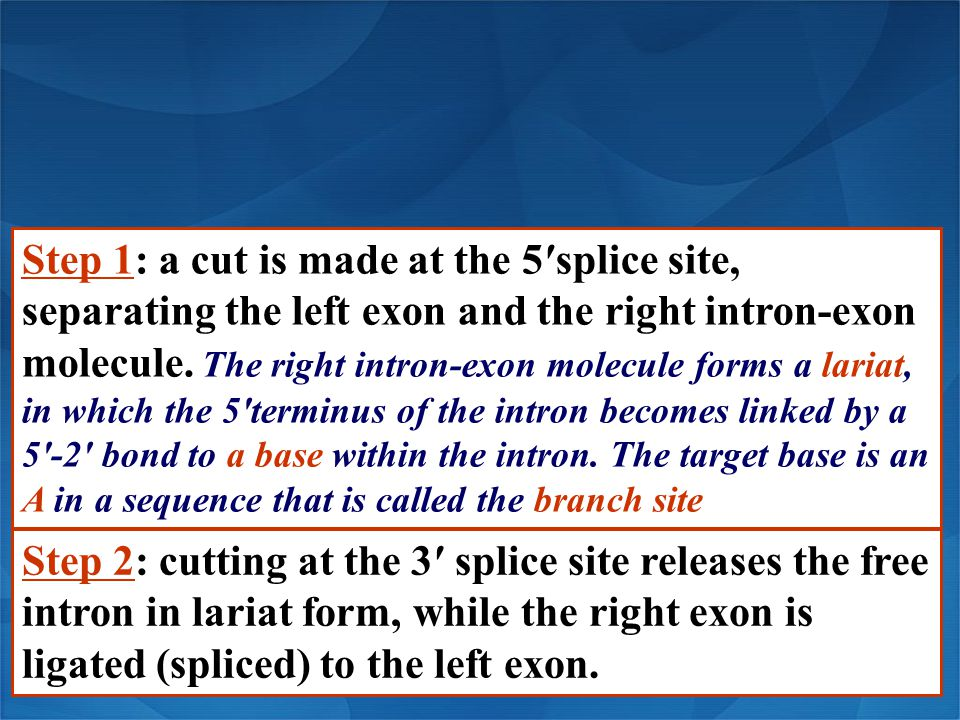 Step 1: a cut is made at the 5′splice site, separating the left exon and the right intron-exon molecule. The right intron-exon molecule forms a lariat, in which the 5′terminus of the intron becomes linked by a 5′-2′ bond to a base within the intron. The target base is an A in a sequence that is called the branch site