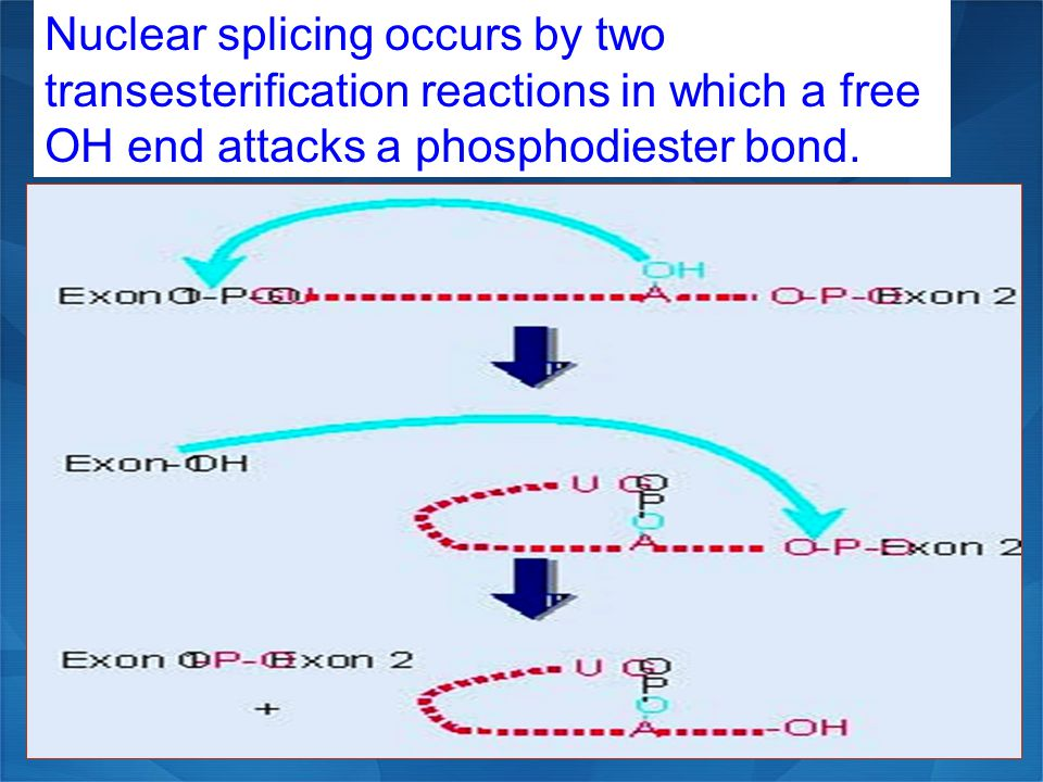Nuclear splicing occurs by two transesterification reactions in which a free OH end attacks a phosphodiester bond.